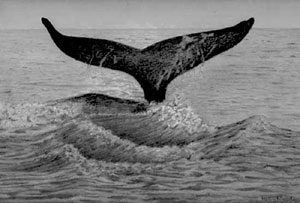 whale drawing by Nancy Nichols